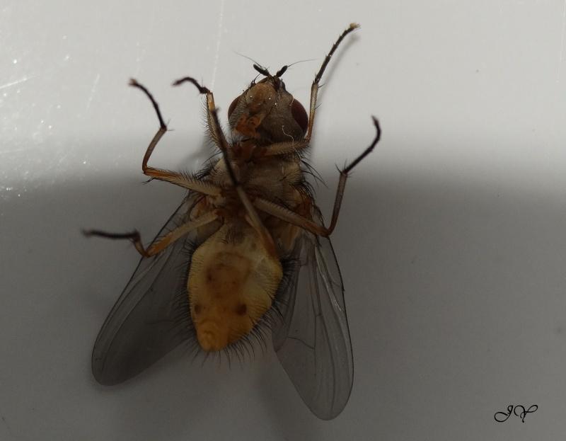 Muscidae. Dsc00510