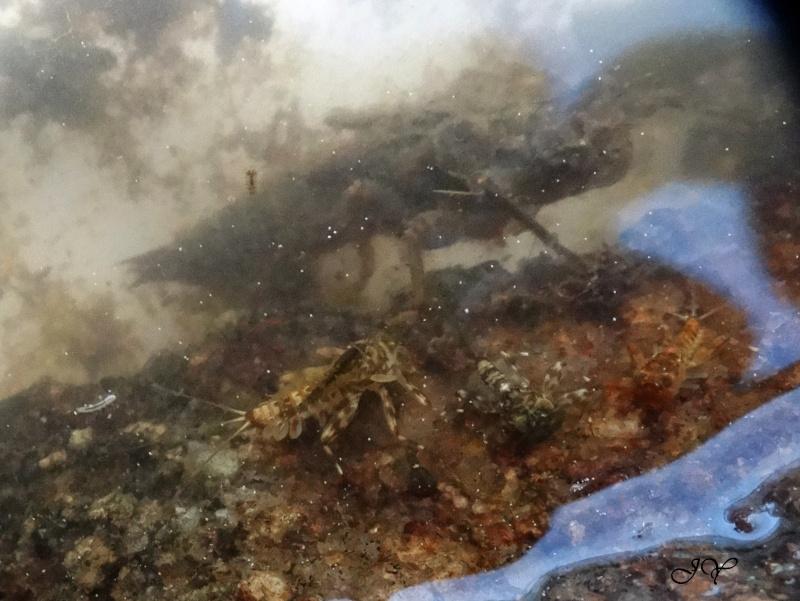 Larves de libellules. Dsc01810