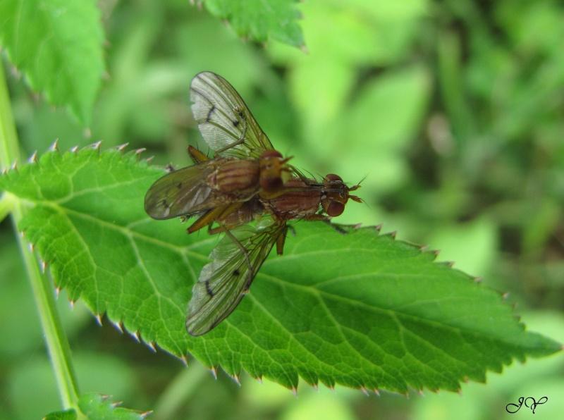 Sciomyzidae Tetano11