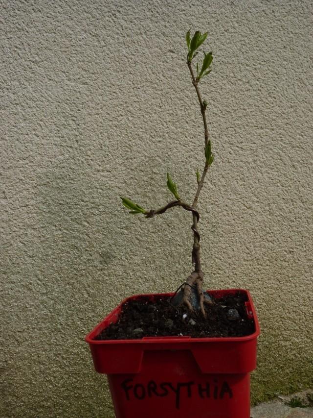 futur bonsaï ? - Page 13 P1130510