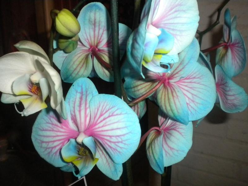 Une nouvelle copine Orchid10