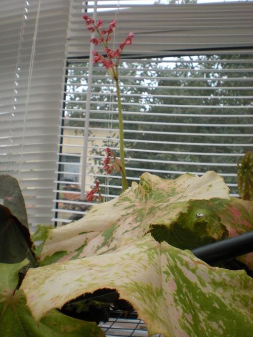 Bégonia Ricinifolia tâcheté? Dscn2710