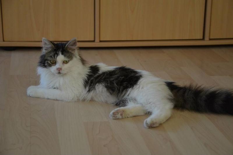 Jingoo, mâle, 05.2014, tabby et blanc  10996810