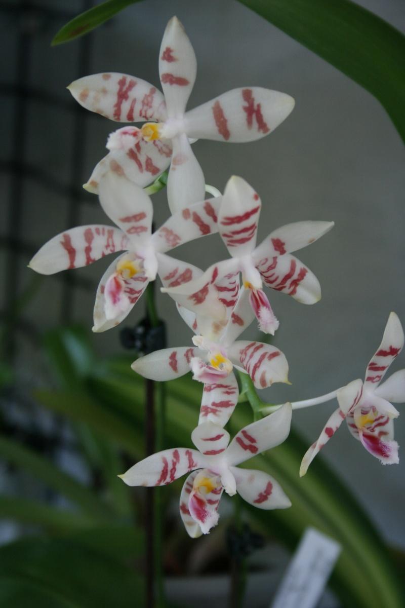 phalaenopsis amboinensis white x tetraspis  Img_1511