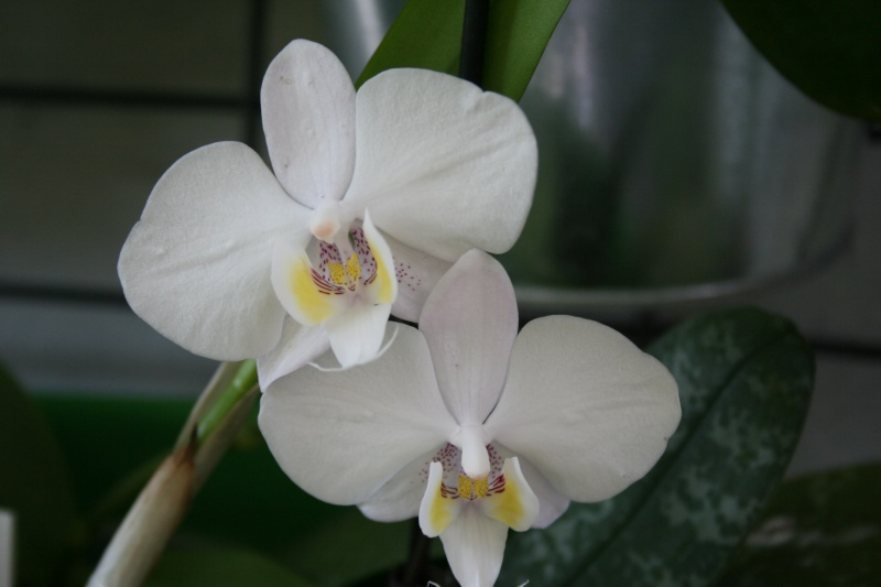 phalaenopsis philippinensis Img_1513