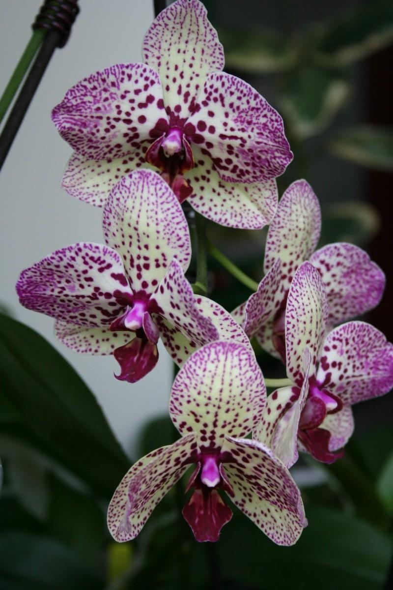 phalaenopsis hybride creme pointillé violet Img_1617