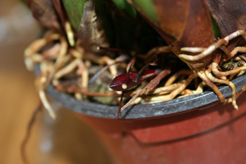 maxillaria rufescens Img_1626