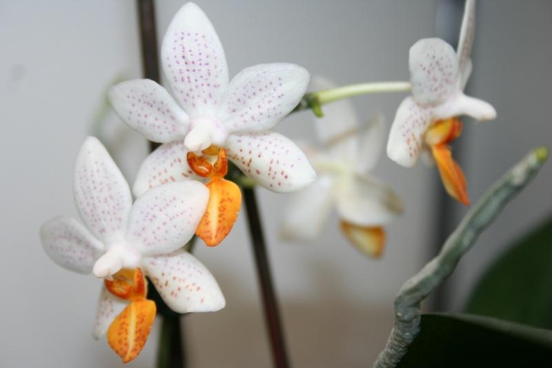 phalaenopsis mini mark  - Page 2 Img_1630