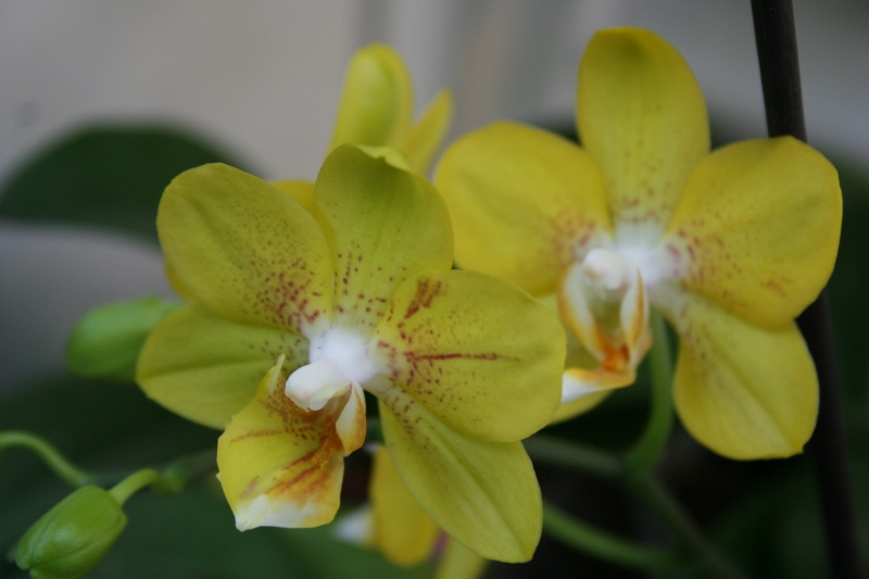 phalaenopsis jaune multiflora Img_1634