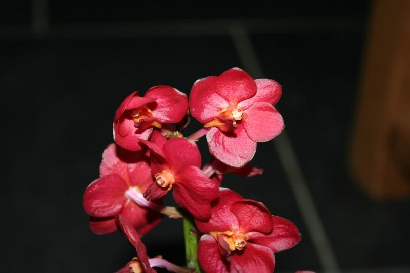 vanda petite fleur rouge Img_1644