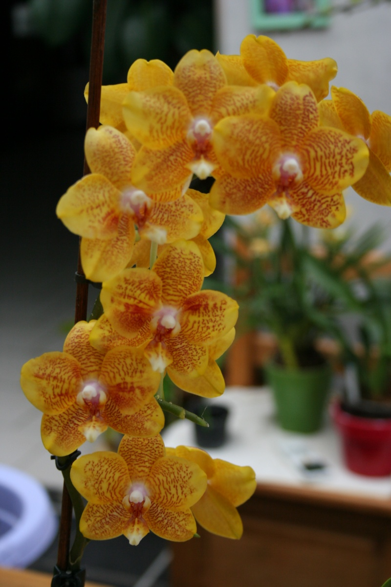 phalaenopsis jaune tigré Img_1646