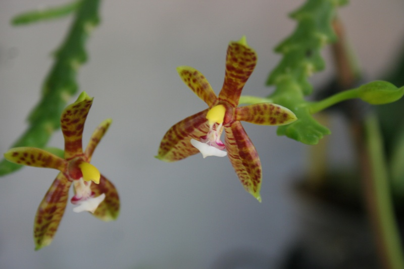 phalaenopsis cornu cervi  - Page 3 Img_1814