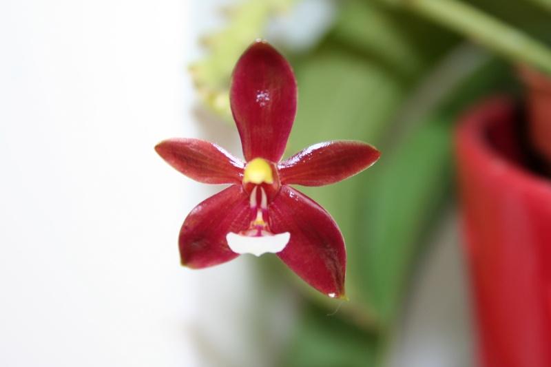 phalaenopsis cornu cervi var chattaladae Img_1815