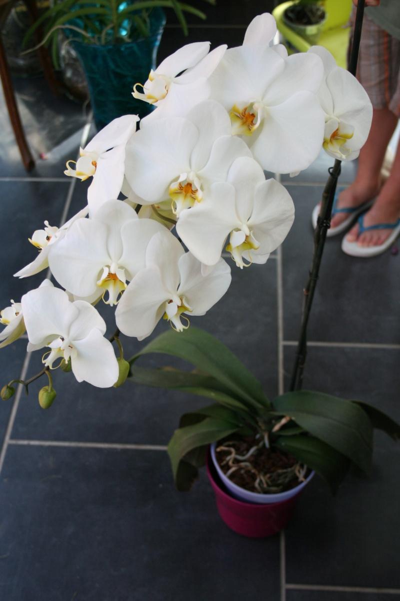 phalaenopsis blanc a fleurs enooooooooormes Img_1819