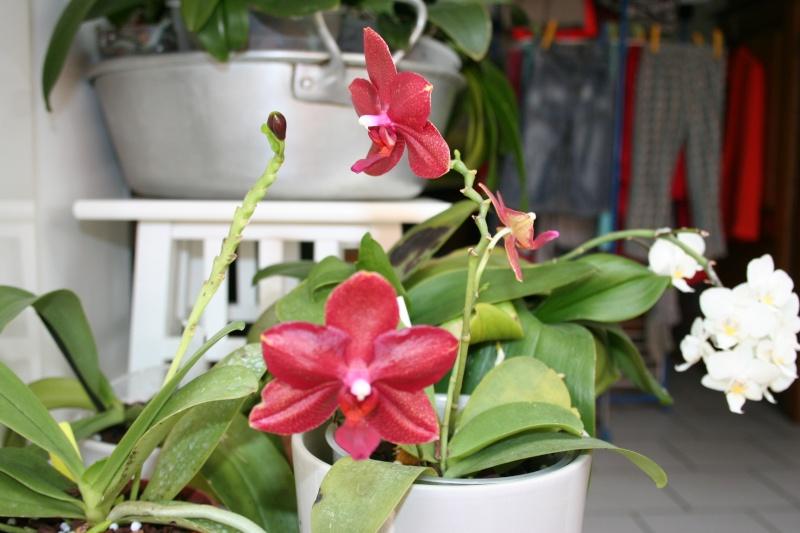 phalaenopsis miva midi libre Img_1823