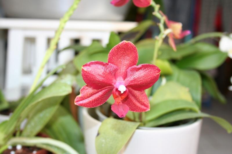 phalaenopsis miva midi libre Img_1824