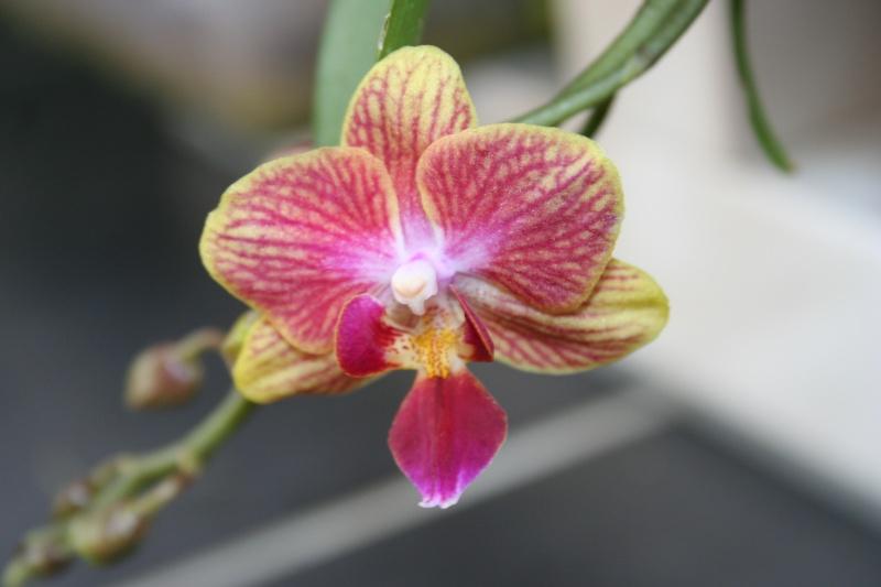 phalaenopsis taisuko cocktail Img_1825