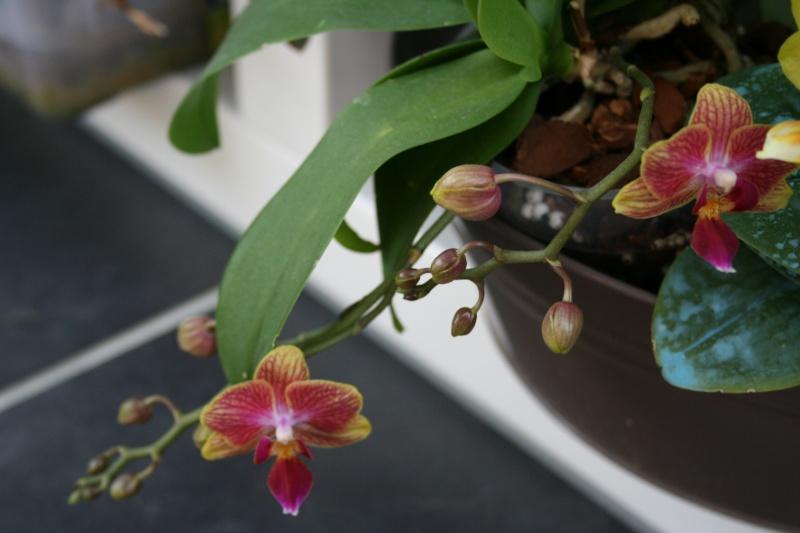 phalaenopsis taisuko cocktail Img_1826