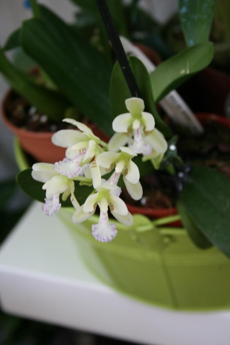 phalaenopsis sedirea japonica  Img_1832