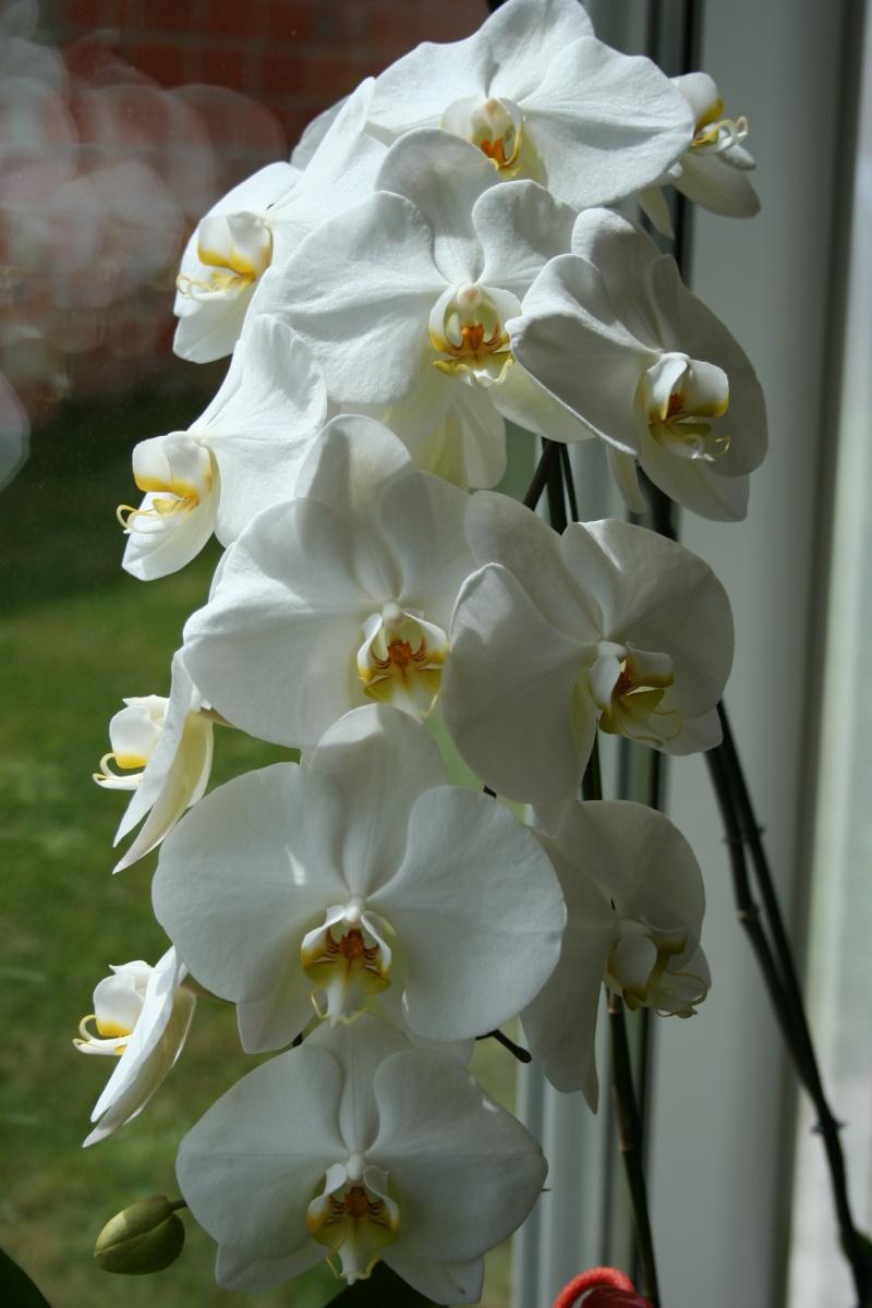 phalaenopsis blanc a fleurs enooooooooormes - Page 2 Img_1910