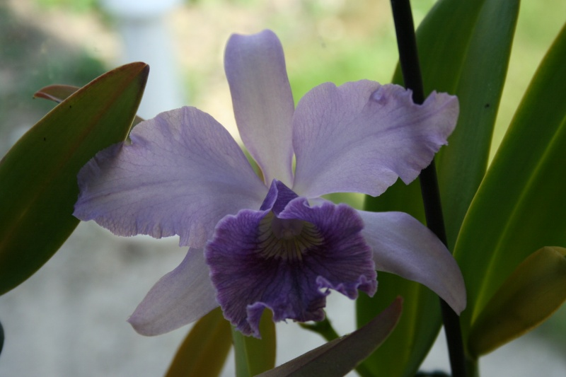 laeliocattleya Canhamiana coerulea azure skies Img_1916