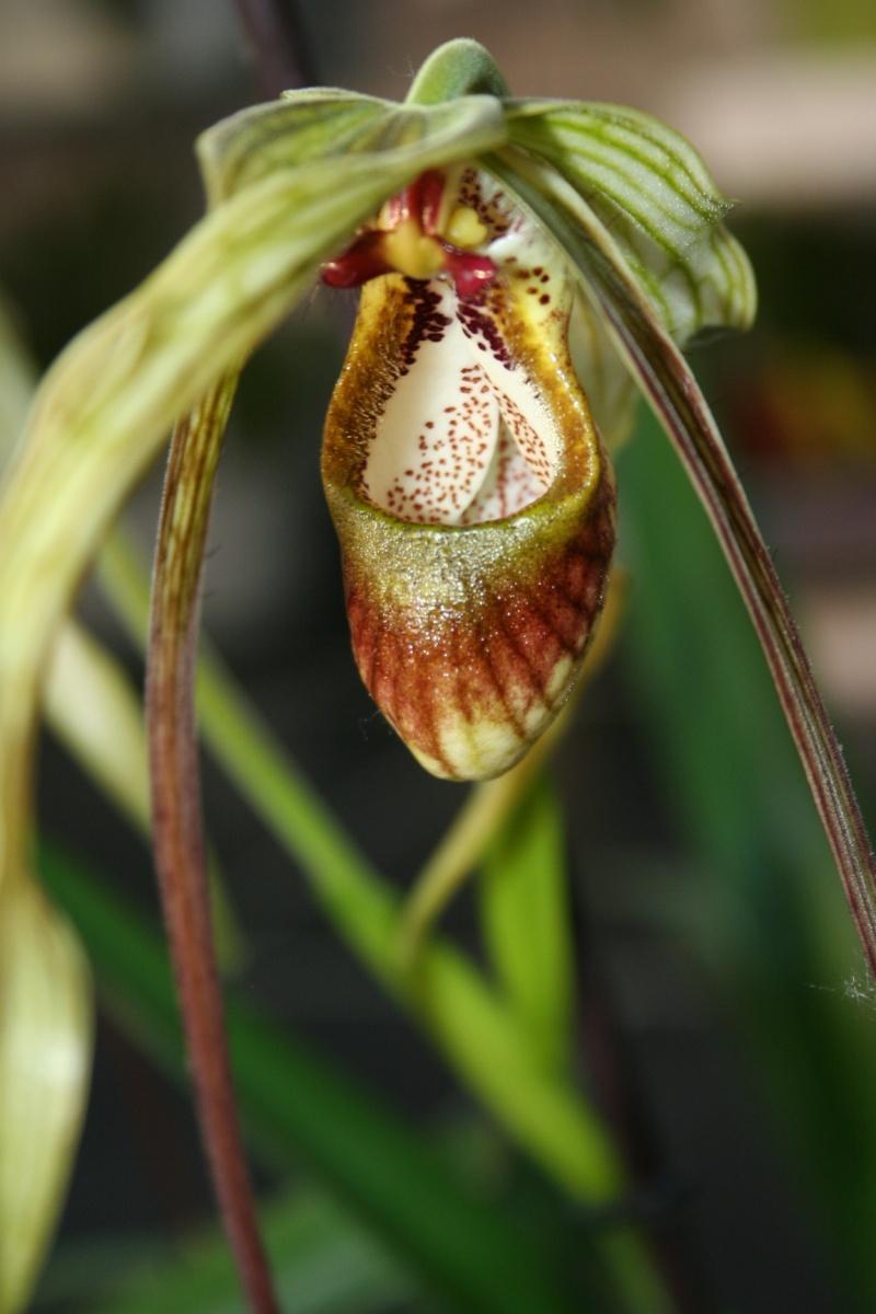 phragmipedium caudatum Img_1921
