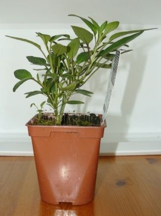 Solanum muricatum - pepino, poire-melon Pypino10