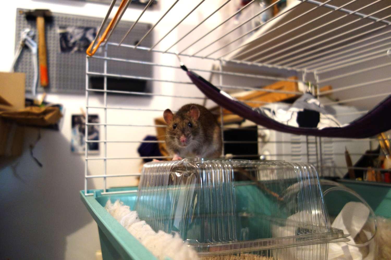 URGENT! Recherche adoptants pour sauvetage de plus de 30 rats - Page 2 Rat_sa12