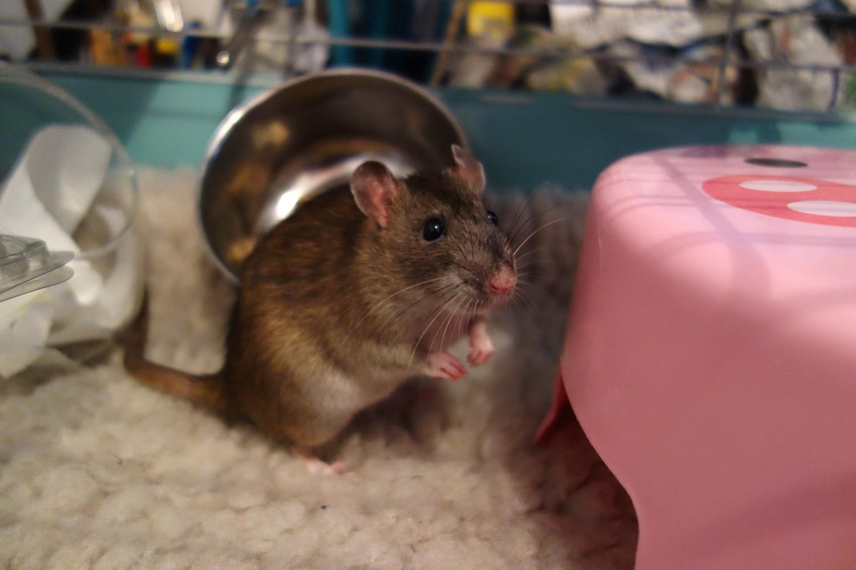 URGENT! Recherche adoptants pour sauvetage de plus de 30 rats - Page 2 Rat_sa13