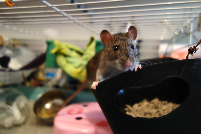 URGENT! Recherche adoptants pour sauvetage de plus de 30 rats - Page 2 Rat_sa15