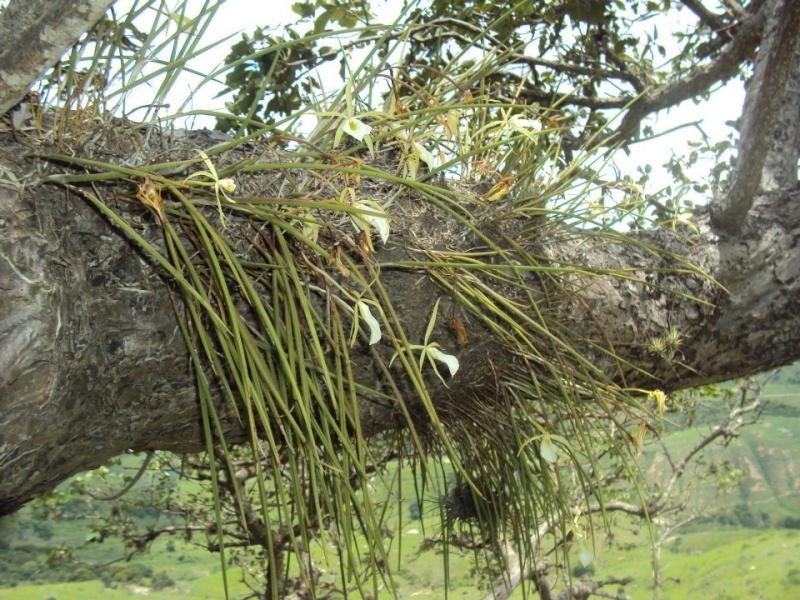 Cattleya et genres alliés  48654110