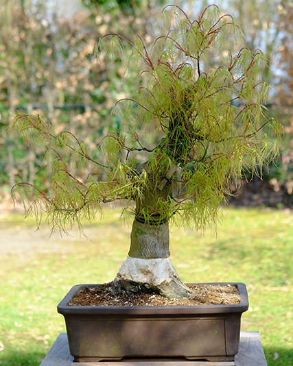 Koto no ito (japanese maple) dig, pot, layer...