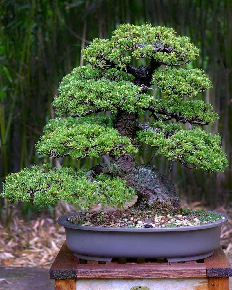 Pinus Parviflora kokonoè 2007 and 2014 Dscf6810