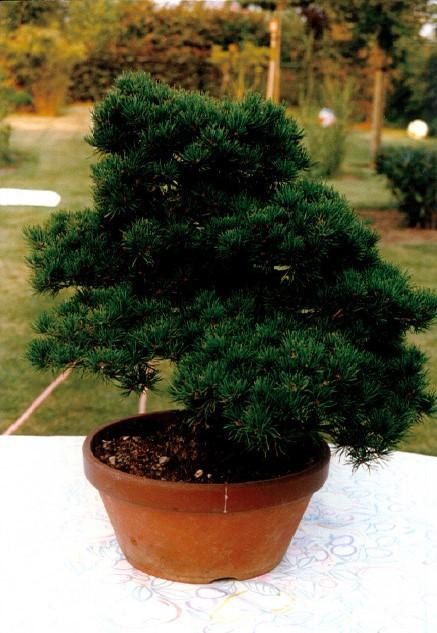 Pinus Parviflora kokonoè 2007 and 2014 Snap1610