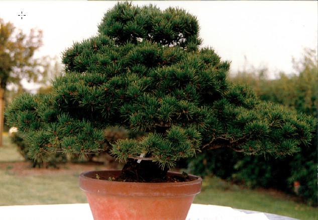 Pinus Parviflora kokonoè 2007 and 2014 Snap1710