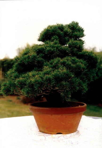Pinus Parviflora kokonoè 2007 and 2014 Snap1810