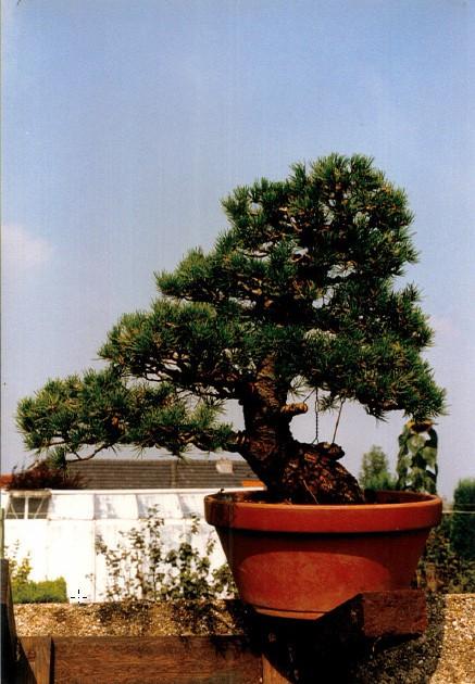 Pinus Parviflora kokonoè 2007 and 2014 Snap2010