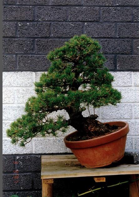 Pinus Parviflora kokonoè 2007 and 2014 Snap2110