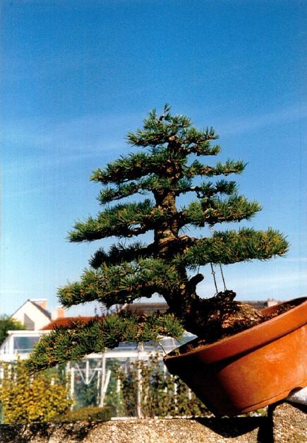 Pinus Parviflora kokonoè 2007 and 2014 Snap2310