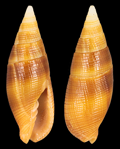 Nebularia pellisserpentis - (Reeve, 1844)  Mitra-10