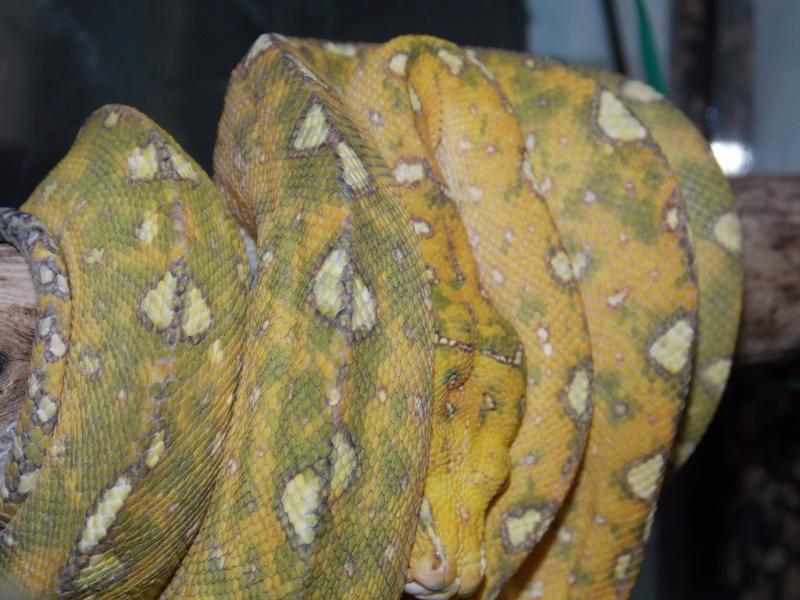 Morelia viridis Biak 2014 Dscn4010