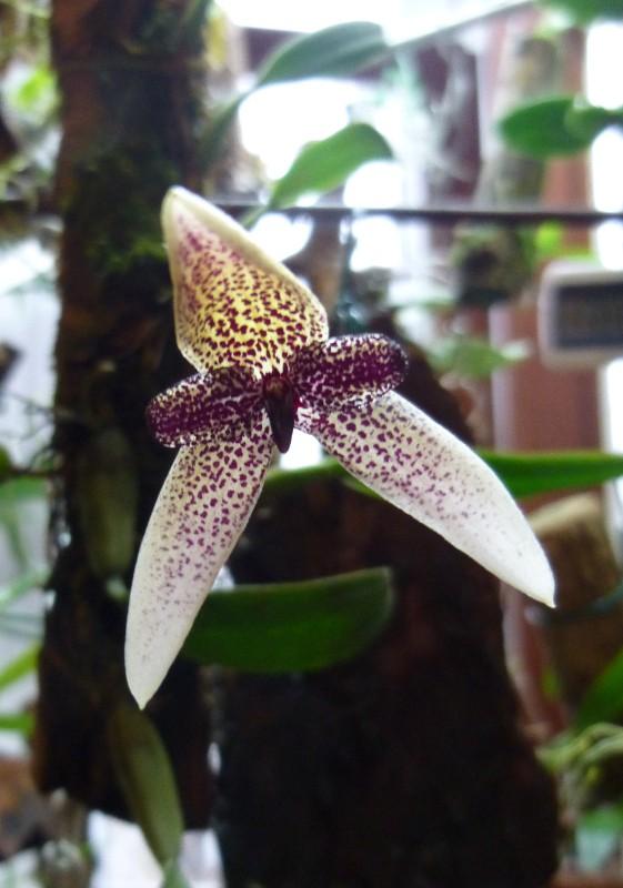 Bulbophyllum elassoglossum Bulbop10