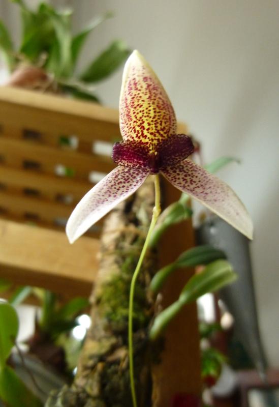 Bulbophyllum elassoglossum Bulbop13