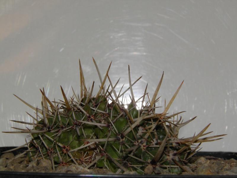 cactus n3 : Parodia submammulosus 2013_210