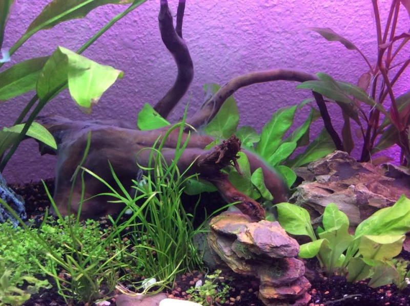 l'Aquarium 19 L de Gibbs ( premier aquarium) - Page 2 Algues10