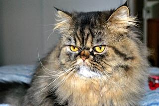 Jules (anciennement Patapouf), mâle persan tabby né 07/05/2014 _dsc0515