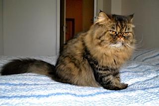 Jules (anciennement Patapouf), mâle persan tabby né 07/05/2014 _dsc0517