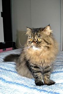 Jules (anciennement Patapouf), mâle persan tabby né 07/05/2014 Unname11