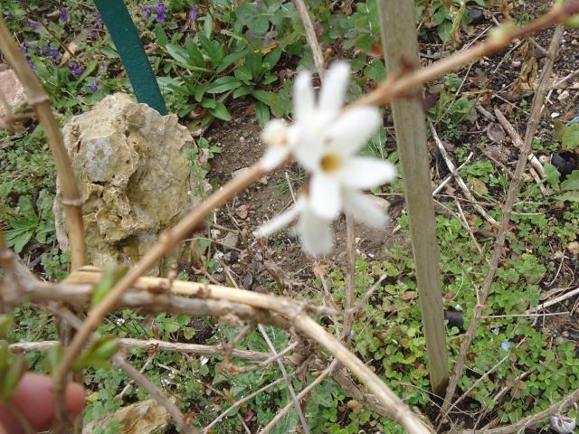 abeliophyllum distinchum Dsc03520