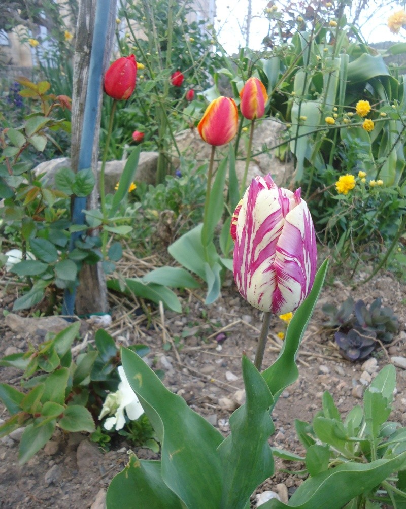 Tulipe 2012  - Page 9 Dsc03734